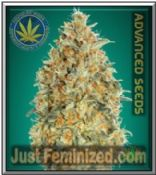 Auto Gorilla Blue Advanced - Buy from Trusted Cannabis Retailer